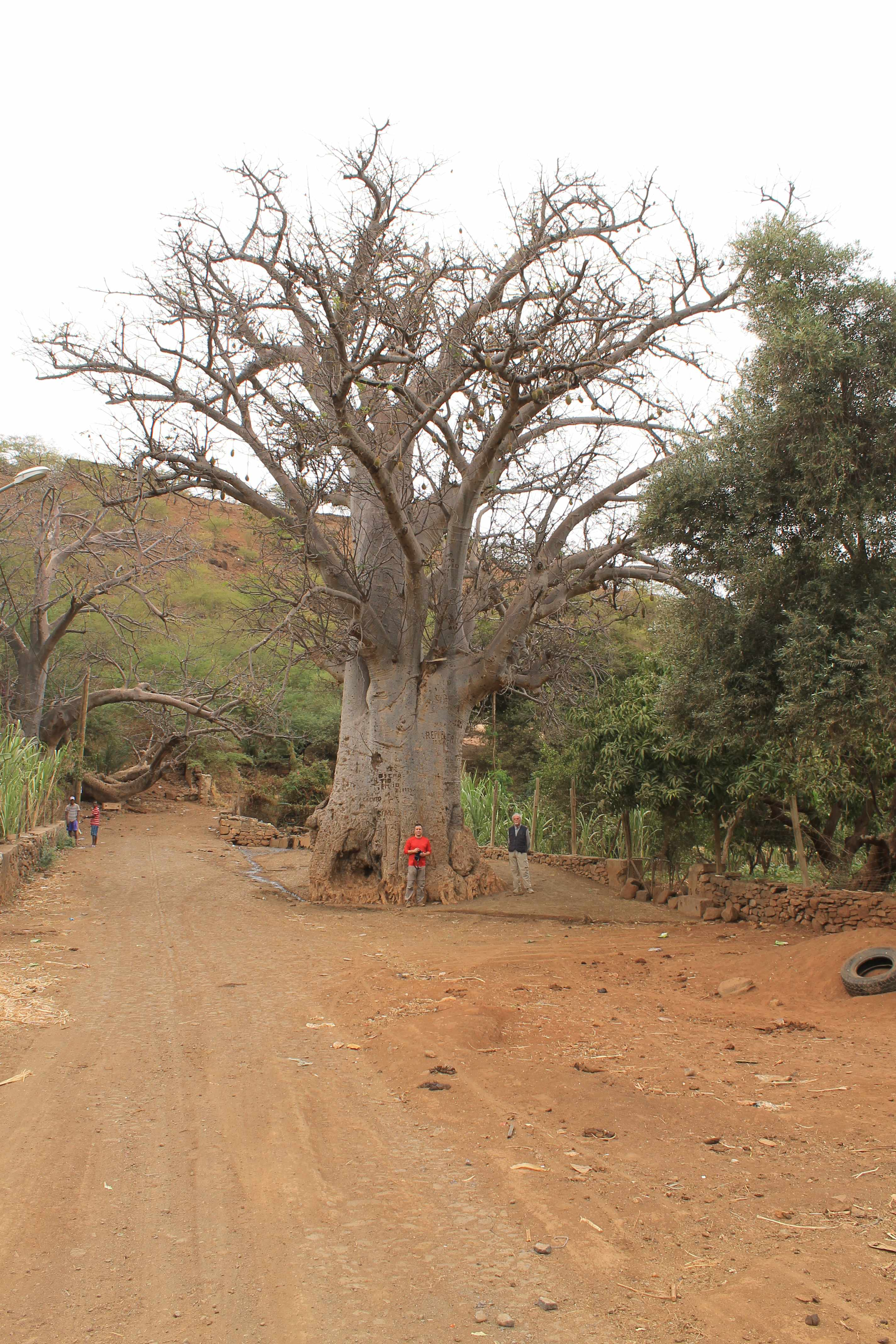 Drawin-Baobab