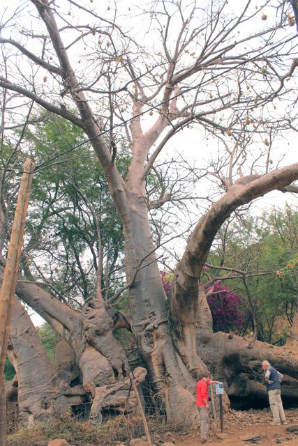 The-Darwin-Baobab