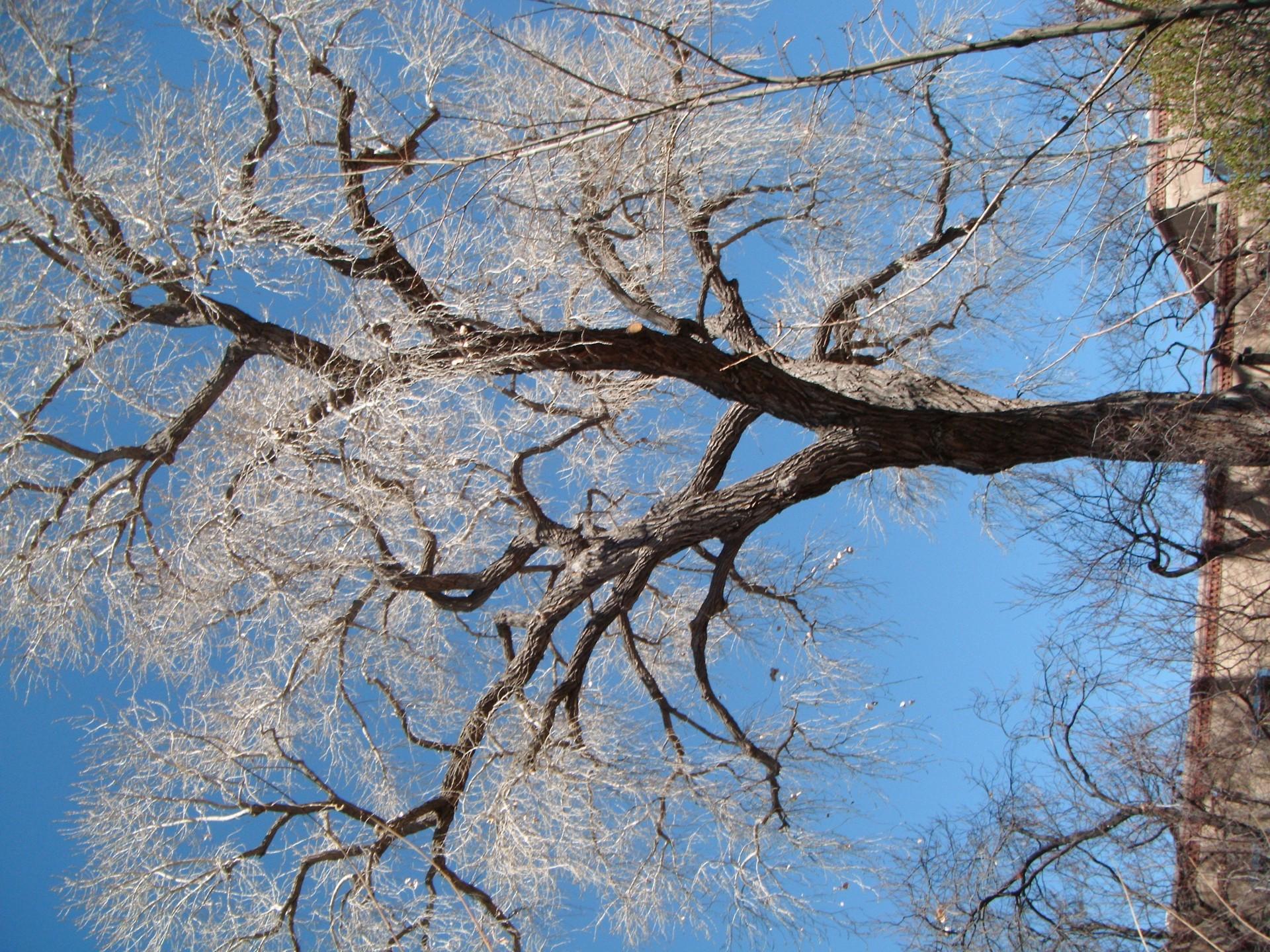 Santa-Fe-tree