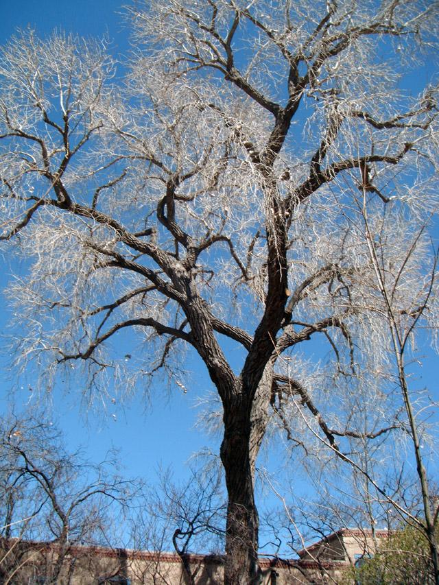 o-Santa-Fe-tree